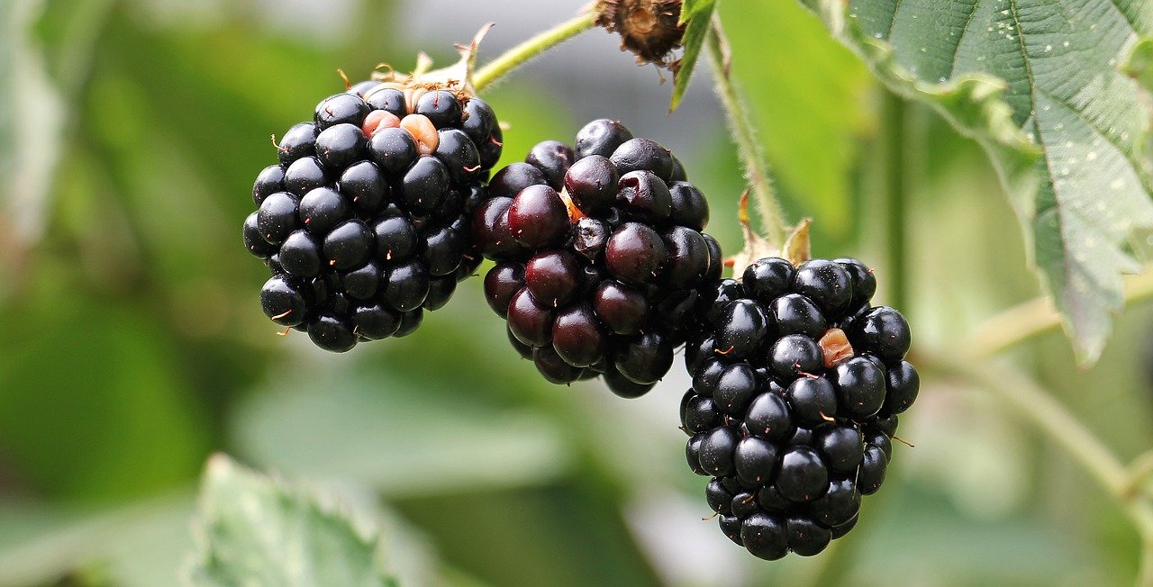 blackberries, bramble, berries