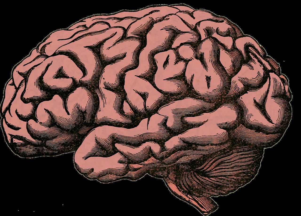 brain, anatomy, human