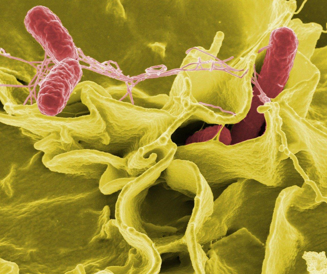 bacteria, salmonella, pathogens
